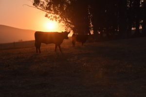 Pasture Raised Veal: How Stewardship of the Land Can Preserve it for Generations to Come